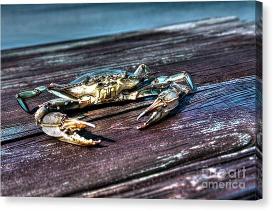 Blue Crab - Above View Canvas Print