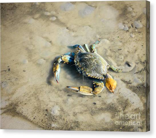 Canvas Print featuring the photograph Blue Crab by Sandy Adams