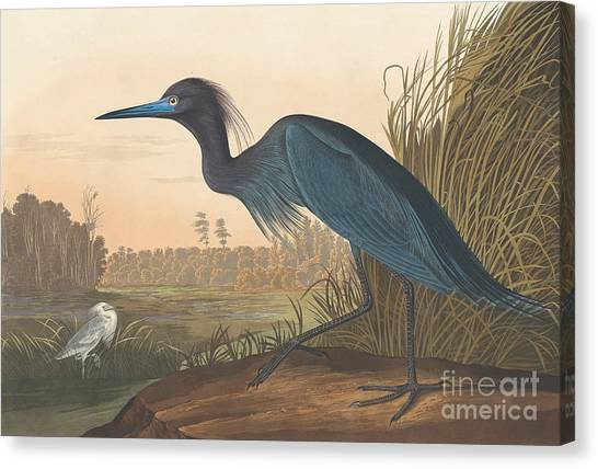 Cranes Canvas Print - Blue Crane Or Heron by John James Audubon