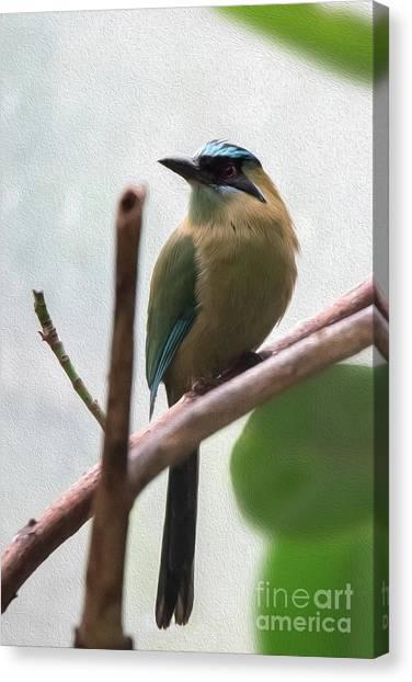 Blue-crowned Motmot Oil Canvas Print