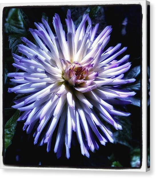 Canvas Print featuring the photograph Blue Dahlia. Like A Winking  Star In by Mr Photojimsf