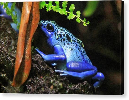 Blue Dart Frog Canvas Print