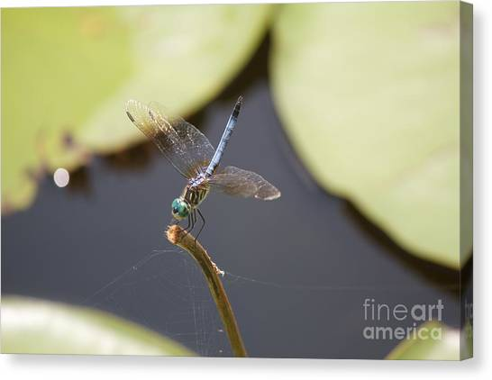 Blue Dasher Dragonfly Canvas Print by David Grant