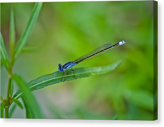 Dragonfly Canvas Print - Blue Dragonfly by Az Jackson