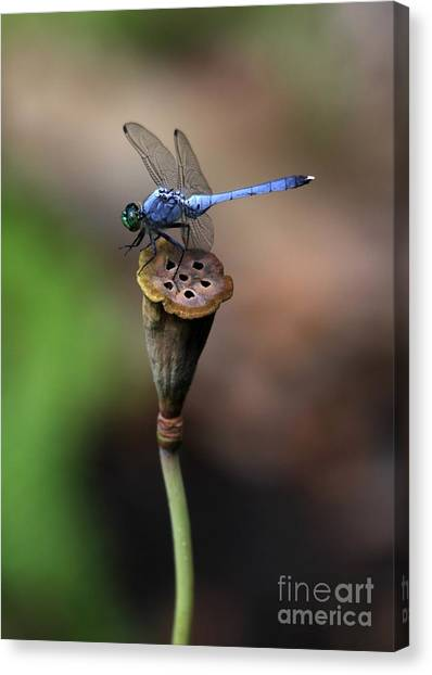 Blue Dragonfly Dancer Canvas Print