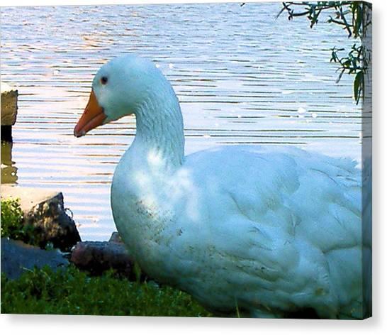 Blue Duck Canvas Print