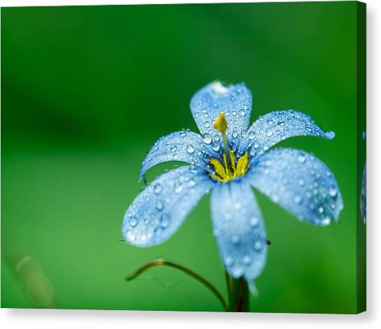 Blue Eyed Grass Flower Canvas Print