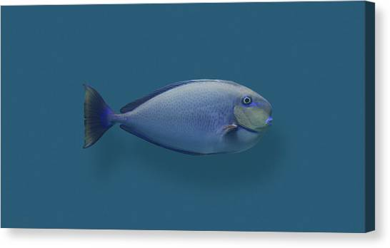 Canvas Print - Blue Round Nose Fish by Daniel Furon