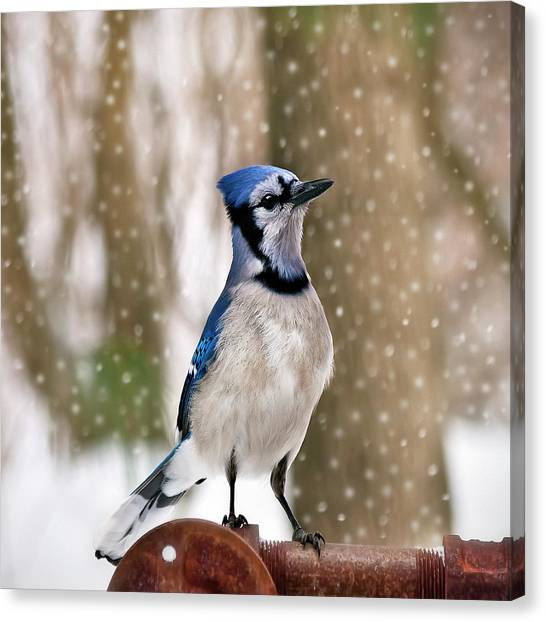 Bluejay Canvas Print - Blue For You by Evelina Kremsdorf