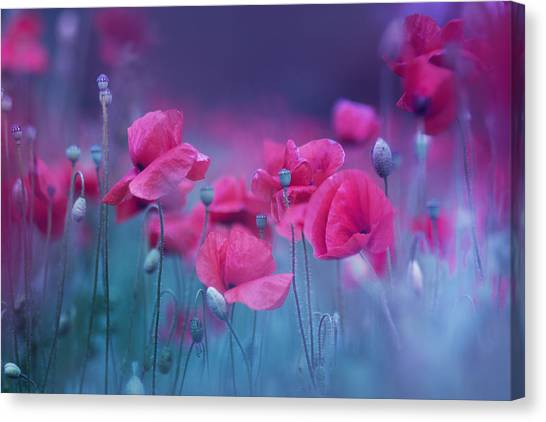 Purple poppy canvas prints fine art america purple poppy canvas print blue garden poppies by magda bognar mightylinksfo