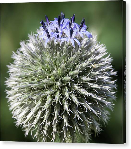 Blue Globe Thistle 3 - Canvas Print