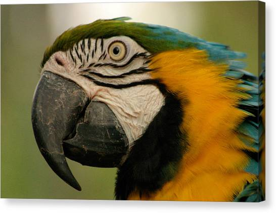 Blue Gold Macaw South America Canvas Print by PIXELS  XPOSED Ralph A Ledergerber Photography