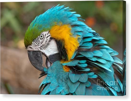 Blue-green-yellow Macaw Canvas Print by Svetlana Ledneva-Schukina