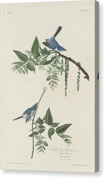 Flycatchers Canvas Print - Blue-grey Flycatcher by Dreyer Wildlife Print Collections