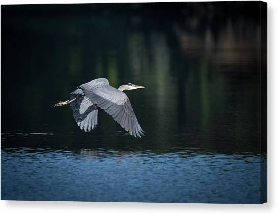 Blue Heron Flying Canvas Print