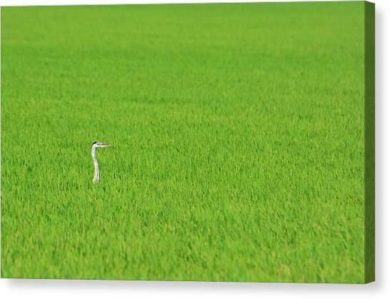 Blue Heron In Field Canvas Print