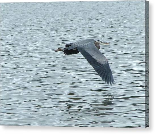 Blue Heron In Flight Canvas Print by Nick Gustafson