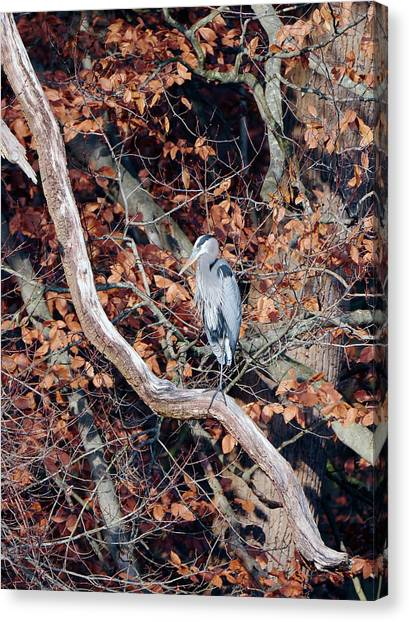 Blue Heron In Tree Canvas Print