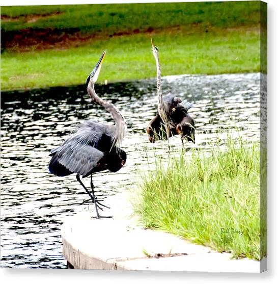 Blue Heron Mating Dance Canvas Print by Bill Perry
