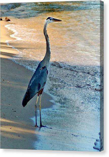 Blue Heron On The Beach Close Up Canvas Print