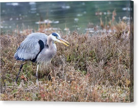 Blue Heron On The Hunt Canvas Print by Eddie Yerkish