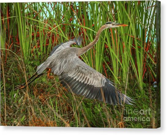 Blue Heron Take-off Canvas Print
