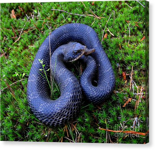 Blue Hognose Canvas Print