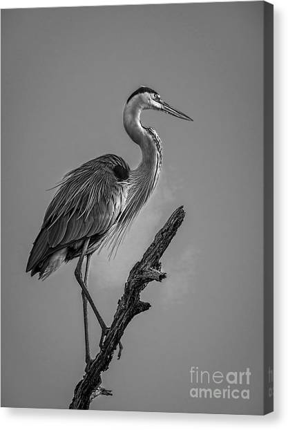 Egret Canvas Print - Blue In Black-bw by Marvin Spates