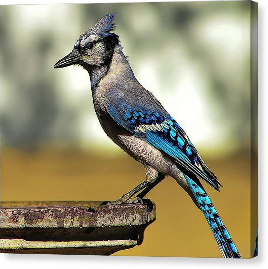 Blue Jay Bath Canvas Print