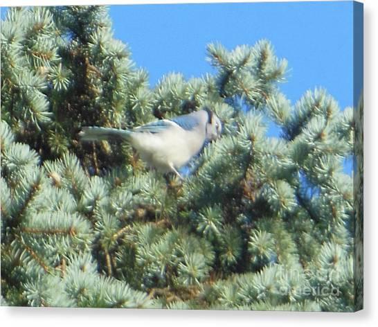 Blue Jay Colorado Spruce Canvas Print
