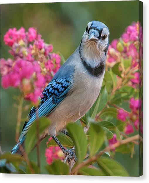 Blue Jay In Crepe Myrtle Canvas Print