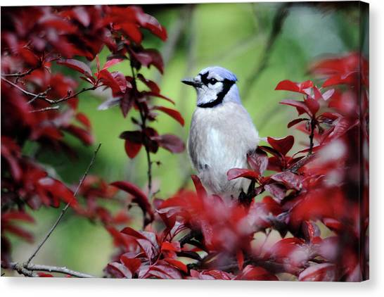 Blue Jay In The Plum Tree Canvas Print