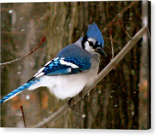 Blue Jay In The Snow Canvas Print
