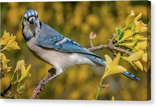 Blue Jay In Yellow Spring Canvas Print