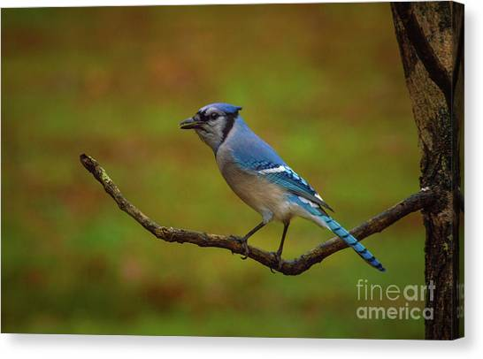 Bluejay Canvas Print - Blue Jay by Lena Auxier