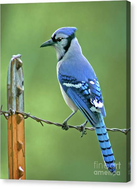 Bluejays Canvas Print - Blue Jay On The Fence by Robert Frederick