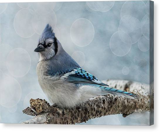 Blue Jay Perch Canvas Print