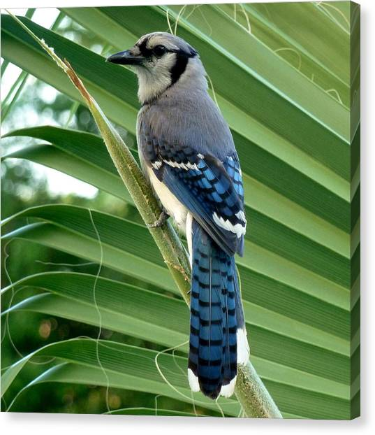 Blue Jay Protector Canvas Print by Kicking Bear  Productions