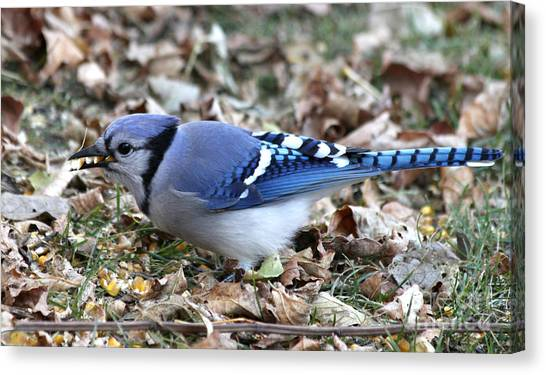Canvas Print - Blue Jay With A Full Mouth by Lori Tordsen