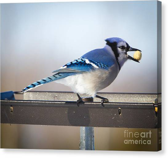 Blue Jay With A Mouth Full Canvas Print