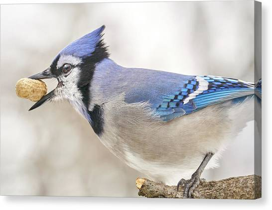 Blue Jay With Peanut, In January Canvas Print