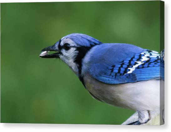 Blue Jay With Seed Canvas Print