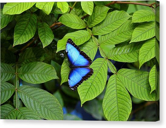 Blue Leaves - Morpho Butterfly Canvas Print