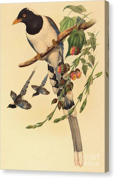Magpies Canvas Print - Blue Magpie, Urocissa Magnirostris by John Gould
