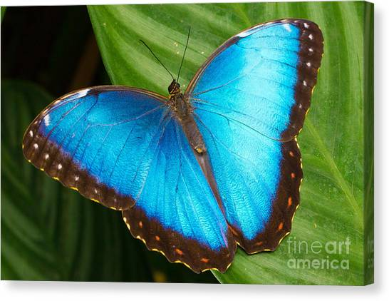 Costa Rican Canvas Print - Blue Morpho by B.G. Thomson