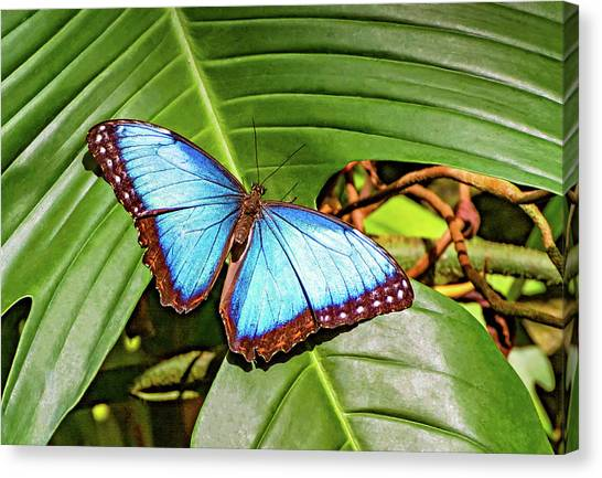 Blue Camo Canvas Print - Blue Morpho Butterfly 2 by Steve Harrington