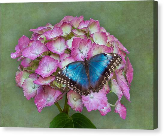 Blue Morpho Butterfly On Pink Hydrangea Canvas Print