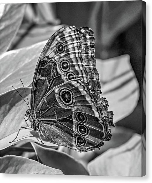Green Camo Canvas Print - Blue Morpho Butterfly Underside Bw by Steve Harrington