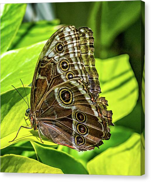 Blue Camo Canvas Print - Blue Morpho Butterfly Underside by Steve Harrington