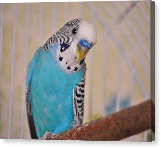 Blue Parakeet Canvas Print